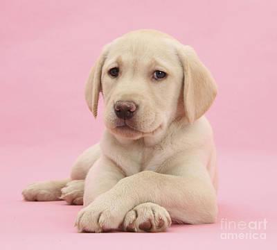 Bitch Photograph - Yellow Labrador Retriever by Mark Taylor