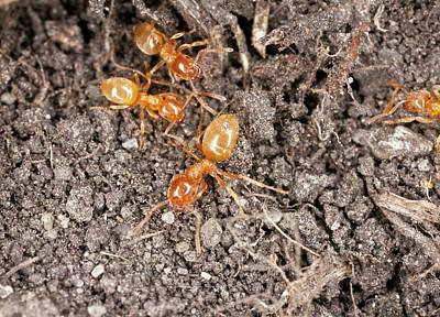 Ant Photograph - Yellow Meadow Ants by Bob Gibbons
