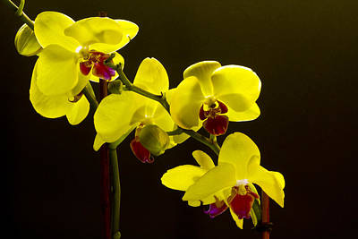 Photograph - Yellow Orchids by Bill Barber