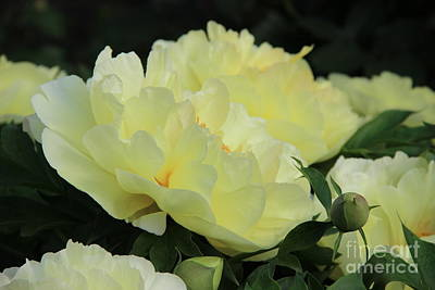 Photograph - Yellow Peonies 1 by Rod Ismay