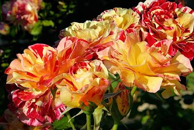 Photograph - Yellow-red Roses by Jane Girardot