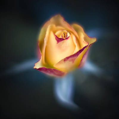 Photograph - Yellow Rose by Brad Grove