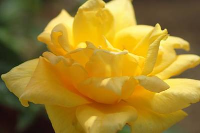 Photograph - Yellow Rose by Susan Stevens Crosby