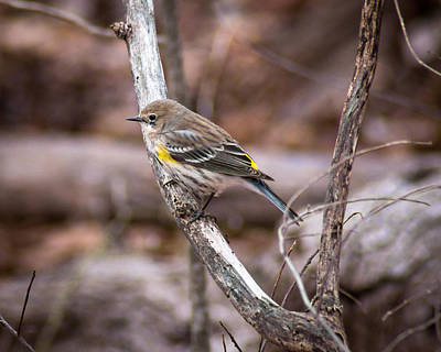 Photograph - Yellow Rumped Warbler by Bill Pevlor