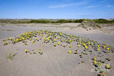 Yellow Sand Verbena Print by Gregory G. Dimijian, M.D.