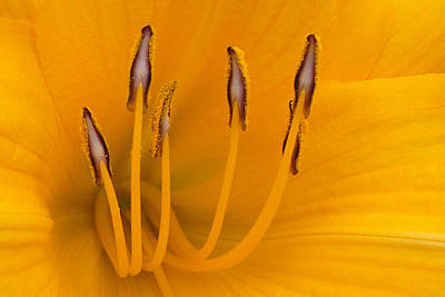 Photograph - Yellow Stamens by TK Goforth