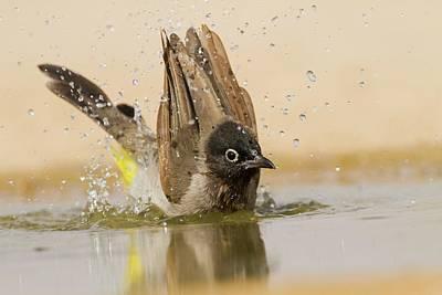 Bird Bath Photograph - Yellow-vented Bulbu by Photostock-israel