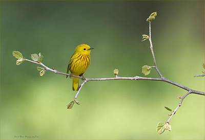 Photograph - Yellow Warbler by Daniel Behm