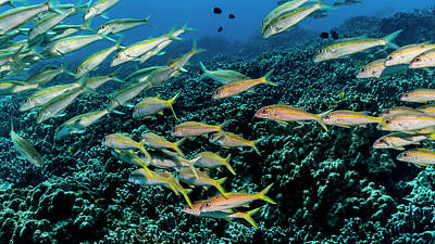 Photograph - Yellowfin Goatfish  Mulloidichthys by Thomas Kline