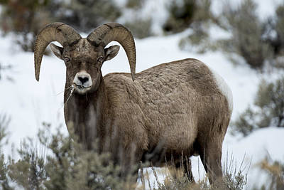 Yellowstone Ram Art Print