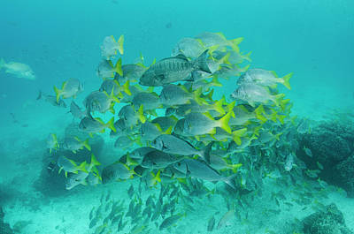 Grunts Photograph - Yellowtail Grunt (anisotremus by Pete Oxford