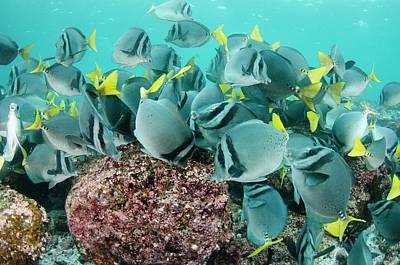 Surgeonfish Photograph - Yellowtailed Surgeonfish (prionurus by Pete Oxford