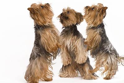 Yorkshire Terriers Art Print by Jean-Michel Labat