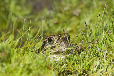 Photograph - Yosemite Toad by Dan Suzio