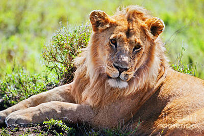 Watching Photograph - Young Adult Male Lion On Savanna. Safari In Serengeti. Tanzania. Africa by Michal Bednarek