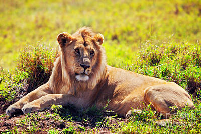 Adult Photograph - Young Adult Male Lion On Savanna. Safari In Serengeti. Tanzania by Michal Bednarek