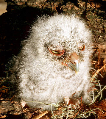Photograph - Young Screech Owl by Millard H. Sharp