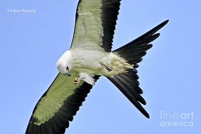 Photograph - Young Swallow-tailed Kite by Barbara Bowen