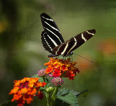Photograph - Zebra Butterfly by Saija  Lehtonen