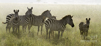 Photograph - Zebra Family by Chris Scroggins