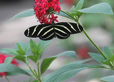 Zebra Longwing Butterfly Art Print by Rosalie Scanlon