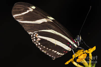 Photograph - Zebra Longwing by JT Lewis