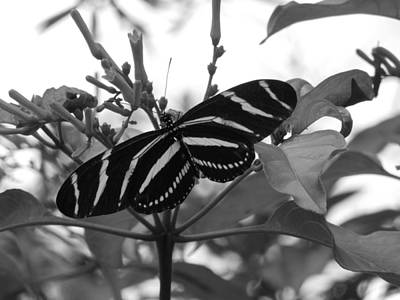 Photograph - Zebra Longwing by Ron Davidson