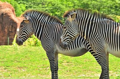 Photograph - Zebra by Puzzles Shum