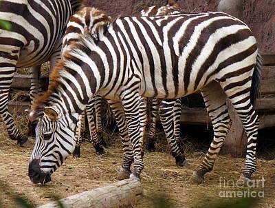 Zebra Photograph - Zebra Stripes by Rachel Munoz Striggow