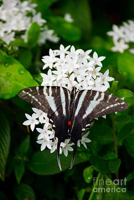 Photograph - Zebra Swallowtail by Angela DeFrias