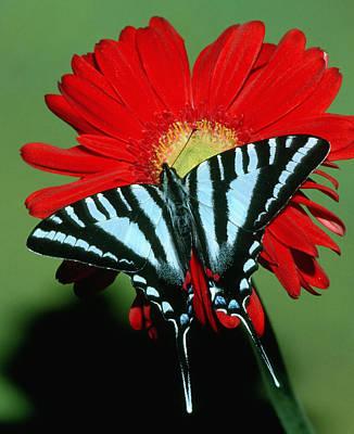 Photograph - Zebra Swallowtail Butterfly by Millard H Sharp