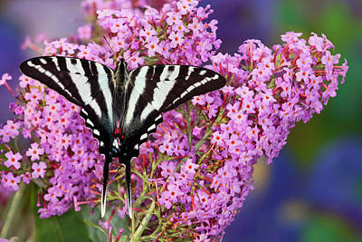 Swallowtail Photograph - Zebra Swallowtail North American by Darrell Gulin