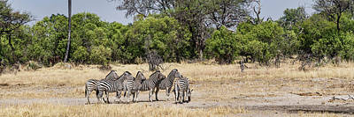 Of Zebra Grazing Photograph - Zebras Grazing In A Forest, Chitabe by Panoramic Images