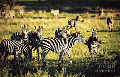 Zebra Photograph - Zebras Herd On African Savanna. by Michal Bednarek