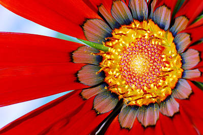 Art Print featuring the photograph Zinnia In Red by Wendy Wilton