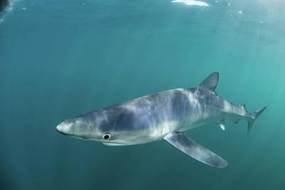 A Sleek Blue Shark Swimming Art Print by Ethan Daniels