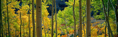 Fall Colors Photograph - Aspen Trees In Autumn, Colorado, Usa by Panoramic Images