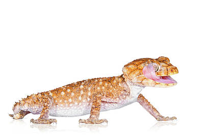 Bloodshot Photograph - Australian Reptiles On White by Shannon Benson