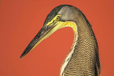 Bare-throated Tiger Heron Tigrisoma Art Print