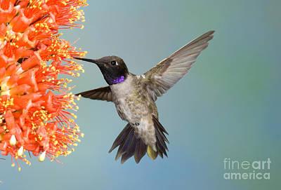 Nectaring Bird Photograph - Black-chinned Hummingbird by Anthony Mercieca
