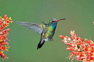 Broadbilled Hummingbirds Photograph - Broad-billed Hummingbird by Anthony Mercieca