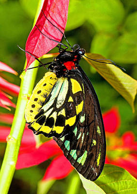 Photograph - Cairns Birdwing Butterfly by Millard H Sharp