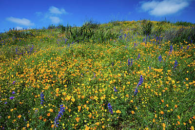 Photograph - California Poppies Eschscholzia by Panoramic Images