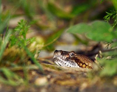 Canebrake Photograph - Canebrake Rattlesnake by Eric Abernethy