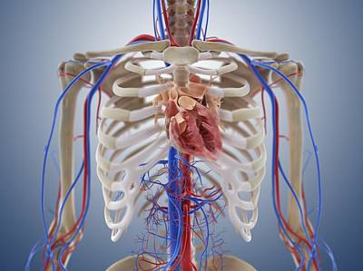 Cardiovascular System, Artwork Print by Science Photo Library