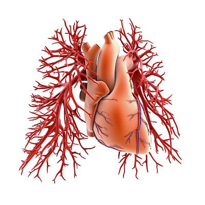 Circulatory System Of Heart And Lungs Art Print