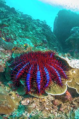 Crown-of-thorns Starfish Art Print by Georgette Douwma
