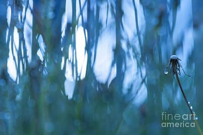 Photograph - Dandelion Close-up View Backlit by Jim Corwin