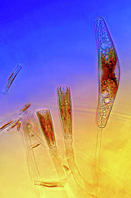 Diatom Photograph - Diatoms by Marek Mis