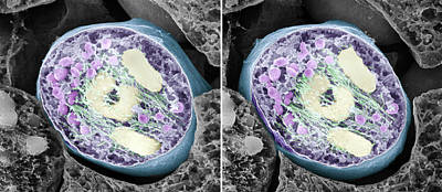 Monocot Photograph - Dividing Pollen Cell by Professor T. Naguro